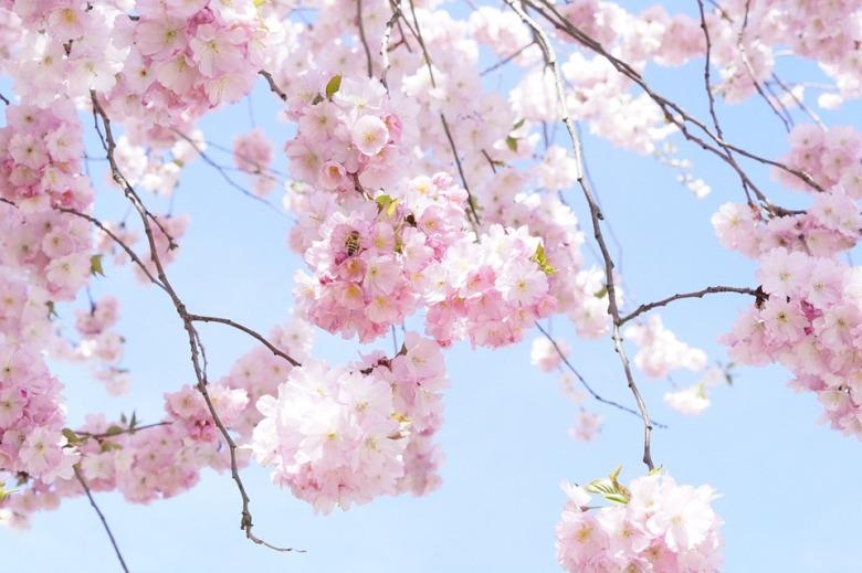 japanese-cherry-trees-724294_960_720.jpg
