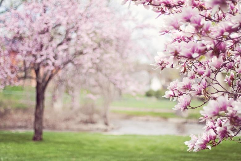 magnolia-trees-556718_960_720.jpg