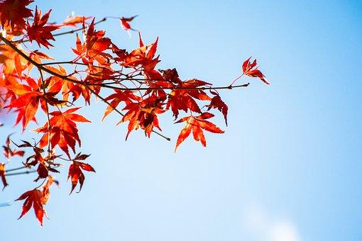 maple-leaf-2999924__340.jpg