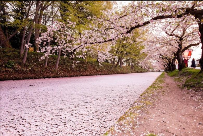弘前公園 - 櫻花
