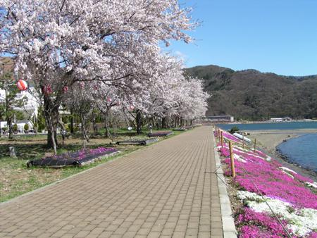 河口湖畔 - 櫻花