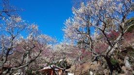 熱海梅花祭_4