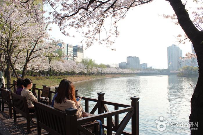 石村湖 櫻花