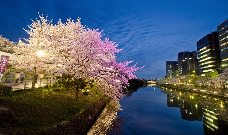 舞鶴公園夜櫻
